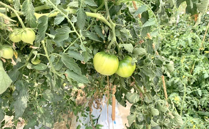 古賀トマト