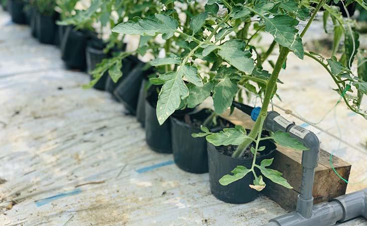 古賀市トマト農家